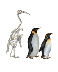 Colossus, Emperor and King penguins