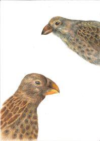 Darwin's Finchesjpg