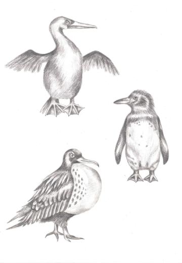 Galápagos birds, graphite