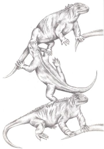 Iguanas, graphite