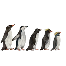 Gentoo, Chinstrap, Adélie, Macaroni and Rockhopper penguins