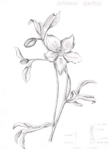 Helleborus orientalis in pencil