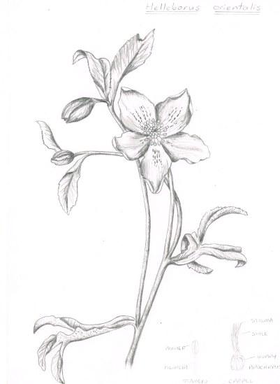 Flower, graphite