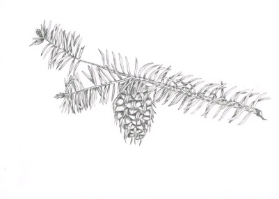 Conifer, graphite