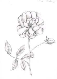 Rose in pencil