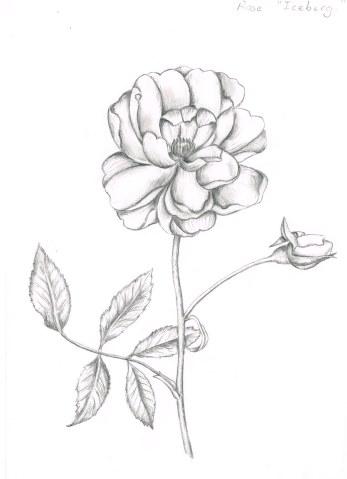 Rose, graphite