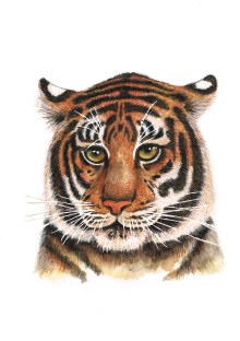 Tiger in watercolour