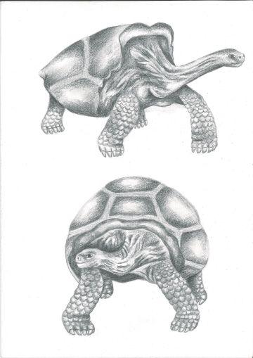 Galápagos tortoise, graphite